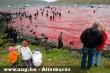 Feröer-szigetek, Bálnagyilkolás