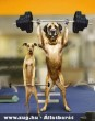 BodyBuilder Dogs