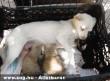 Pandabébiket szoptat egy kutya