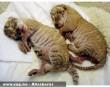 Tigroszlán bébik
