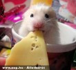 Nem egér, hanem hörcsög és a sajt