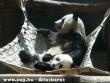 Panda pihenõ