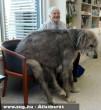 A 75 kg-os óriás eb Ausztráliában él