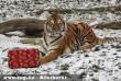 Ajándékot kapott a Tigris