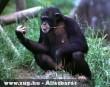 Csimpánz és a bot