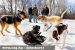 Kutyák játszanak a hóban