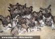 Ritka afrikai vadkutyakölykök
