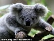 Bambuló koala