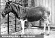Quagga: az utolsó ismert példány 1883-ban pusztult el