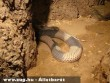 Egyiptomi kobra