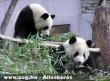Tajvani panda
