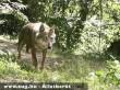 Olasz farkas