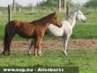 Állatkínzás: Csontsovány lovak egy magyar tanyán