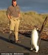 Az eltévedt pingvin