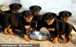 Rottweiler kölykök