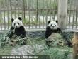 Két óriáspanda érkezett új franciaországi otthonába, egy Tours melletti állatparkba