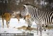 Az Afrikában õshonos jávorantilopok és a zebrák esznek a hóra kirakott takarmányból