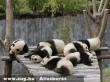 Panda szunya