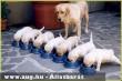 Labrador kutyusok