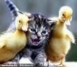 Kacsa-macska barátság