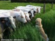 Kutya és a tehenek