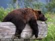 Fáradt medve