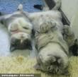 Lustálkodó cicák