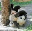 Birkózó pandák