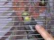 Nimfa papagáj 01