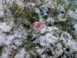 Százszorszép a hóban