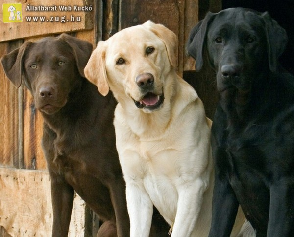 Labrador golden retriever keverek elado