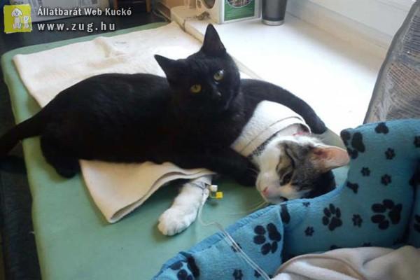 Ápolja és ölelgeti beteg társait a túlélő cicus
