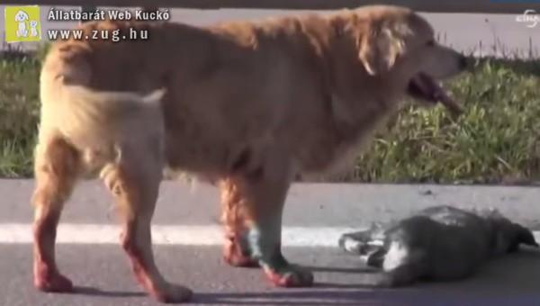 Szívbemarkoló: Elütött társát próbálja megmenteni egy kutyus
