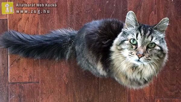 A 26 éves Corduroy a világ legidősebb macskája