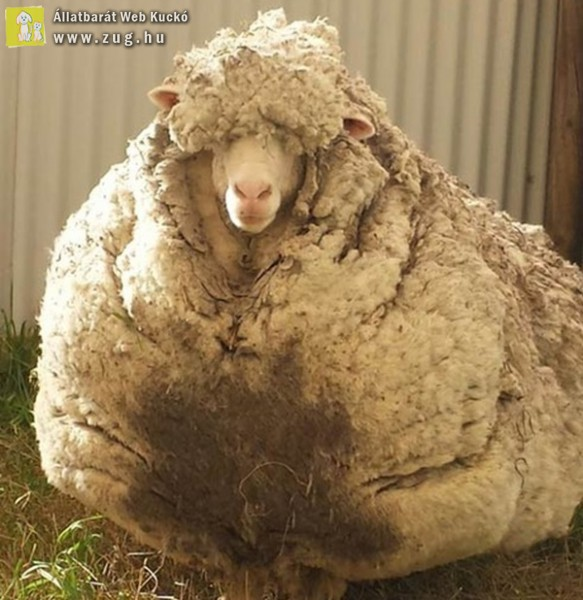 30 pulóvernyi gyapjúval került elő az elkóborolt juh