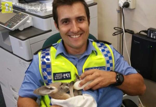 Mindenhová követi megmentőjét az árván maradt kengurukölyök