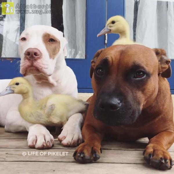 Féltőn óvják a kutyusok a befogadott kiskacsákat