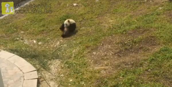 Bukfencezéssel szórakoztatja magát a kis panda