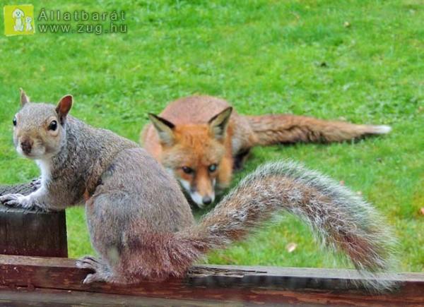 Együtt gyűjti a finom falatokat a róka és a mókus