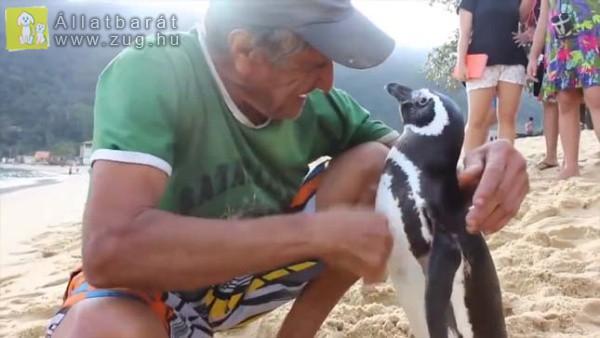 Évente 8000 kilométert utazik a pingvin, hogy találkozzon megmentőjével