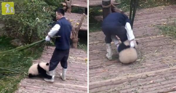 Elválaszthatatlan lett gondozójától a kis panda