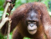 A világ legritkább orangutánfajának példányaira bukkantak
