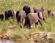 Műholdas jeladóval védik az elefántokat