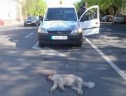 Állatok gázolása - sok az állatos baleset (durva képpel)