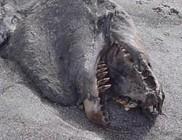 Különös lényt vetett partra a víz Új-Zélandnál