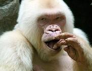Megfejtették az egyetlen albínó gorilla titkát