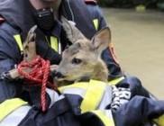 A vadállatokat sem kíméli a Duna áradása - fotóval