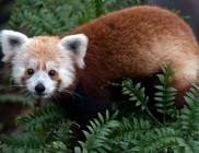 Szökött pandát kerestek a fővárosban
