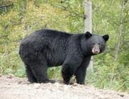 Beszökött az állatkertbe egy feketemedve