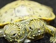 Thelma és Louise: kétfejű teknős született San Antonioban